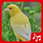 Canary Sounds, Chants and tones free for pc icon